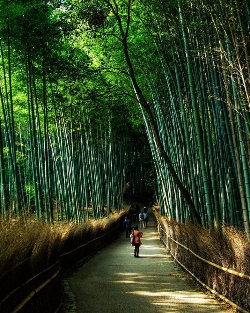 pianta-di-bambu